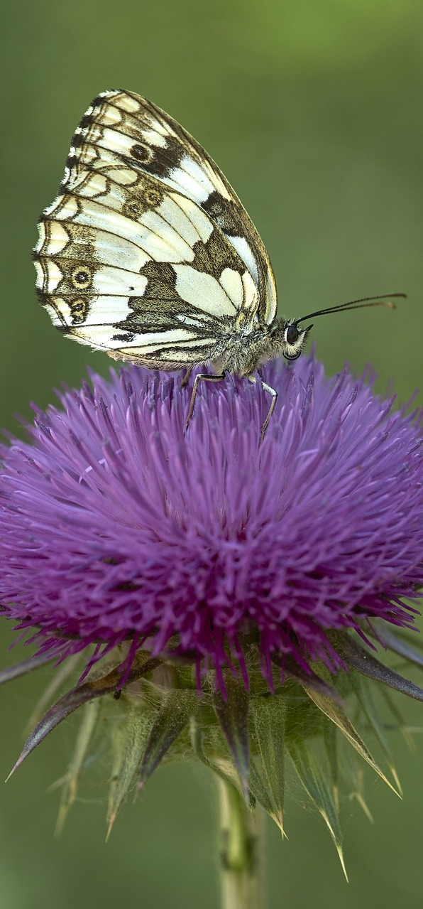 Butterfly on purple flower.