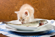 Cat Eating Raw Fish