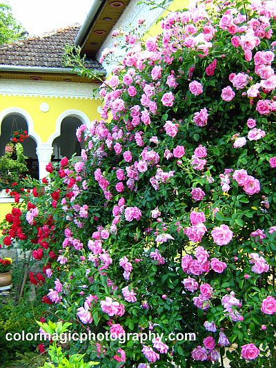 Pink climbing rose bushes arching before the entrance