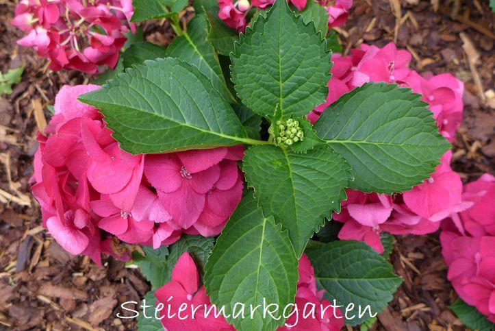 Hortensie-rosa-Steiermarkgarten