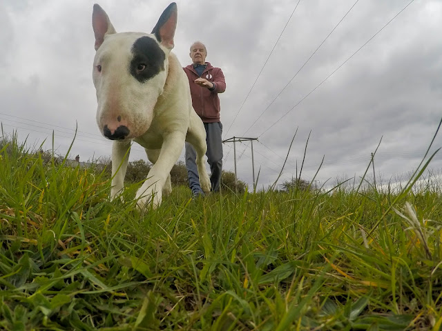 Baxter the Englsih Bull Terrier out for a walk