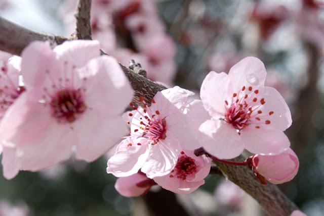 زهرة الكرز Cherry Blossom