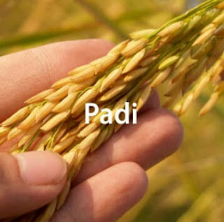 Teknis Budidaya Padi
