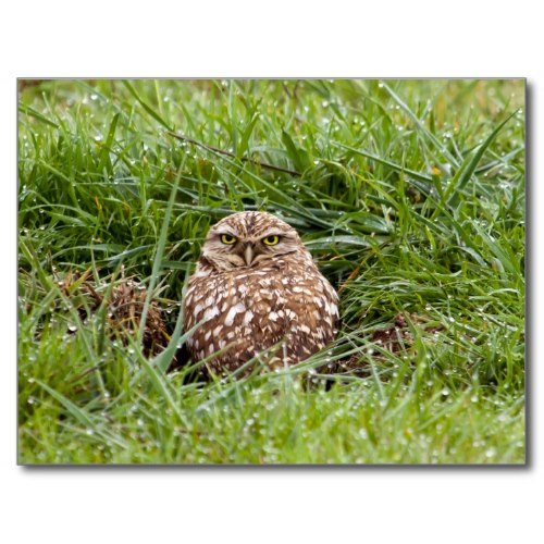 Burrowing Owl After Rain | Wildlife Photo Postcard