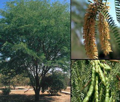 Algarrobo dulce Prosopis flexuosa
