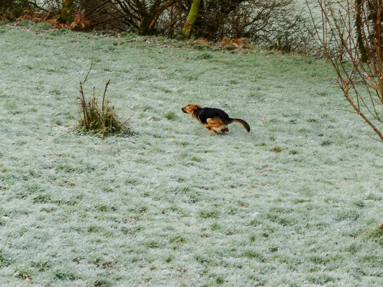 A German Shepherd scooting around on frosty grass.