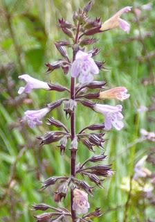 Clinopode nepeta - clinopodium-calamintha nepeta