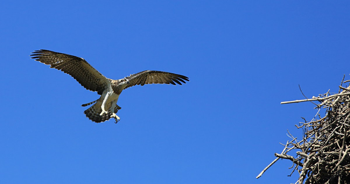 Tyto tony young osprey near ready for fishing lessons for Fishing lessons near me