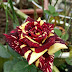 Hoa hồng sọc Abracadabra Rose