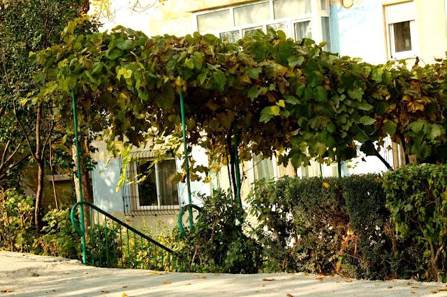 Autmn vine in Medgidia