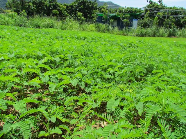 可樂穀紅藜農場,灑播田菁,增加土壤天然的氮、磷、鉀有機質