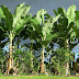 اهم خطوات زراعة الموز في المنزل