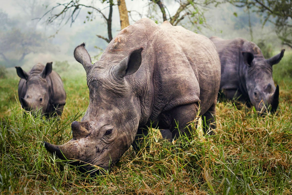 3. White Rhinos - 10 Highlights from the 2015 Nat Geo Traveler Photo Contest