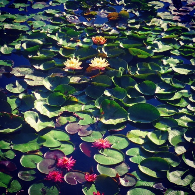 The International Waterlily Collection in San Angelo, Texas | Doskogirl
