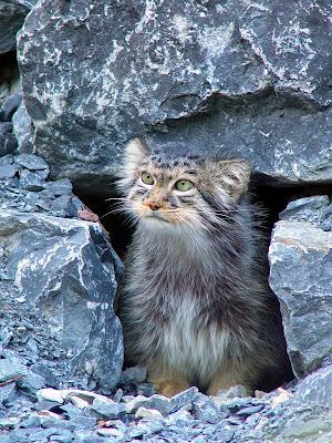 Que come el gato montes yahoo dating