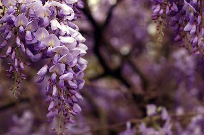Glicinia (Wisteria sinensis)