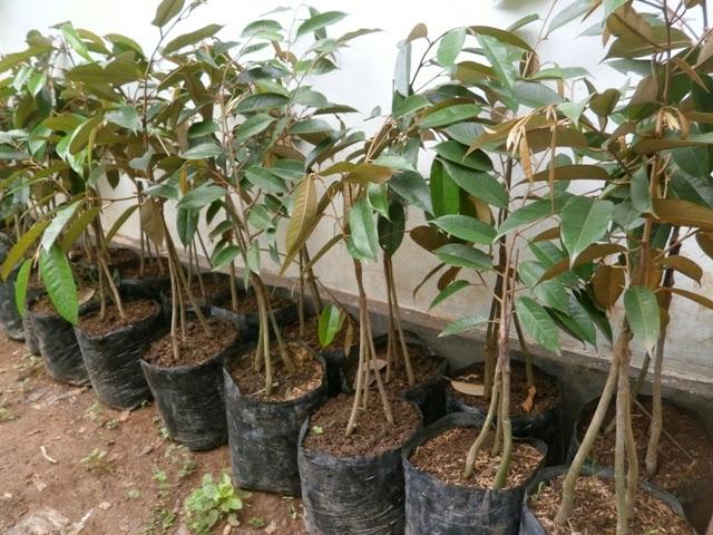 Bibit Durian Bawor Kaki Tiga ( 3 ) Unggul