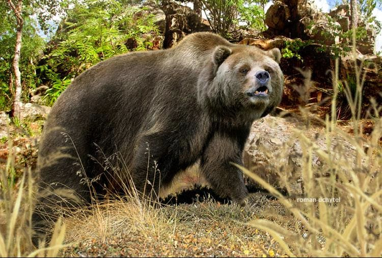 Extinction around the world: Cave Bear and Short-faced Bear