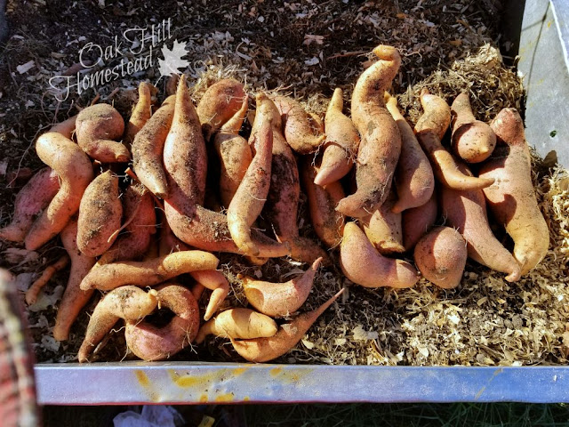 We harvested over 11 pounds of sweet potatoes from just ten plants. (c) Oak Hill Homestead