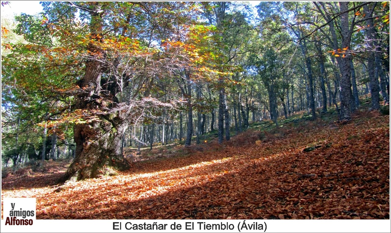 Castañar de El Tiemblo  2014 - Alfonsoyamigos