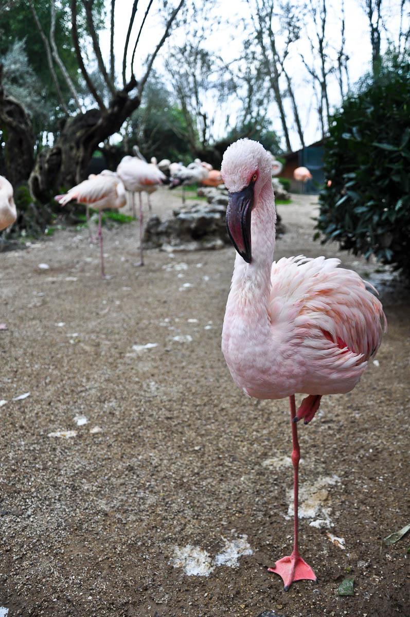 Moody flamingo teenager, Parco Faunistico Cappeller, Nove, Veneto, Italy