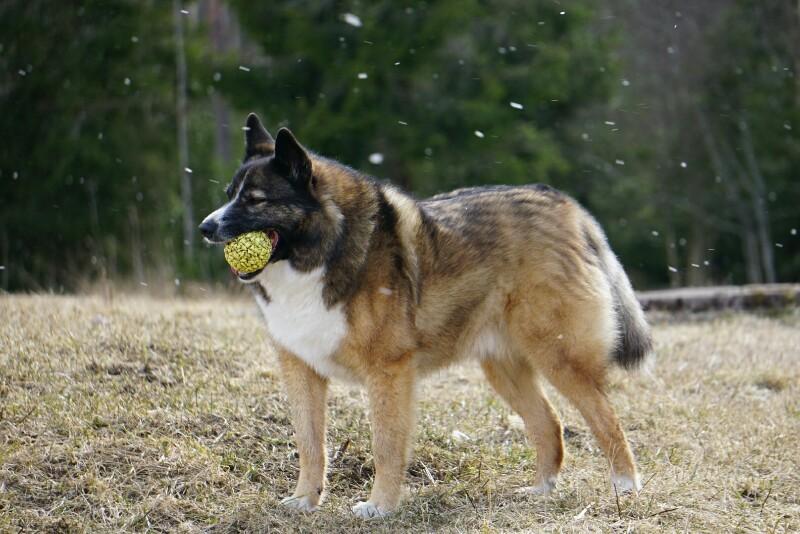 Koira, lumisade