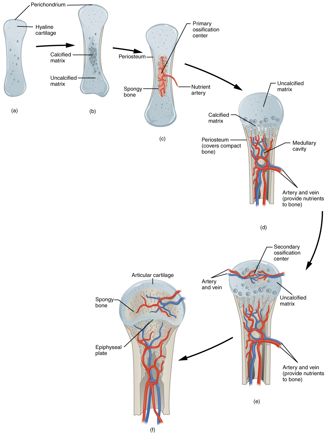 Proses Perubahan Tulang Rawan Menjadi Tulang Keras : proses, perubahan, tulang, rawan, menjadi, keras, Academy, Tulang, Perkembangan, Manusia