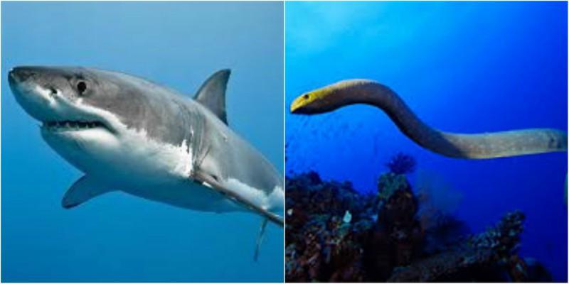 Μονομαχία ενός καρχαρία με ένα θαλάσσιο φίδι! (βίντεο)