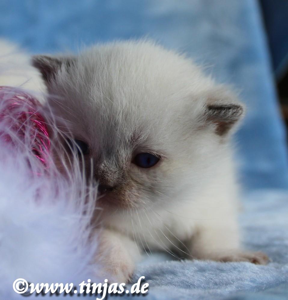 Britisch Kurzhaar Katzenbaby ganz jung