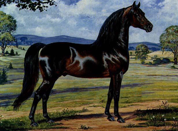 HD Animals Wallpapers Morgan Horse
