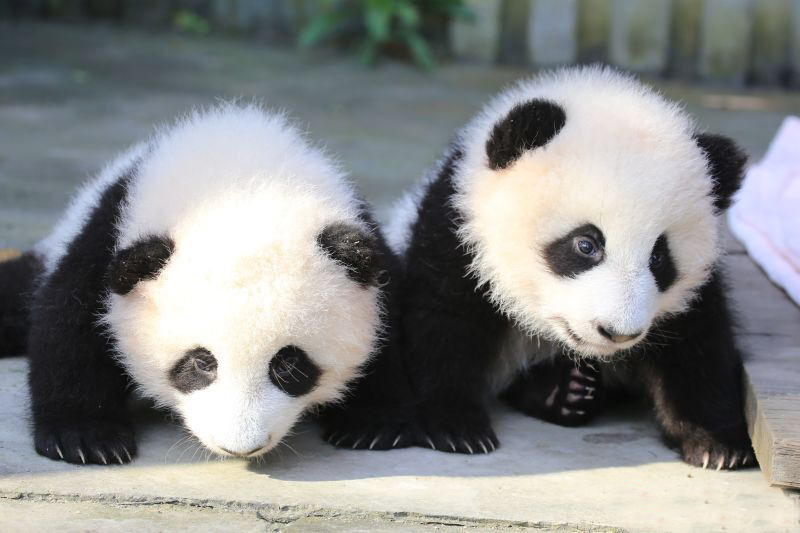 1 72 multiverse giant pandas. Black Bedroom Furniture Sets. Home Design Ideas