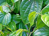 Manfaat / khasiat daun sirih bagi kesehatan manusia