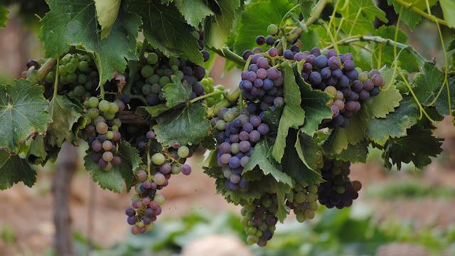 Belgische wijnboeren produceren meer ondanks het weer
