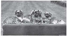 old photograph of Tibetan Spaniel dog