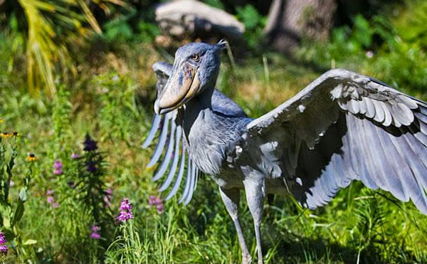 Animals You May Not Have Known Existed - Shoebill