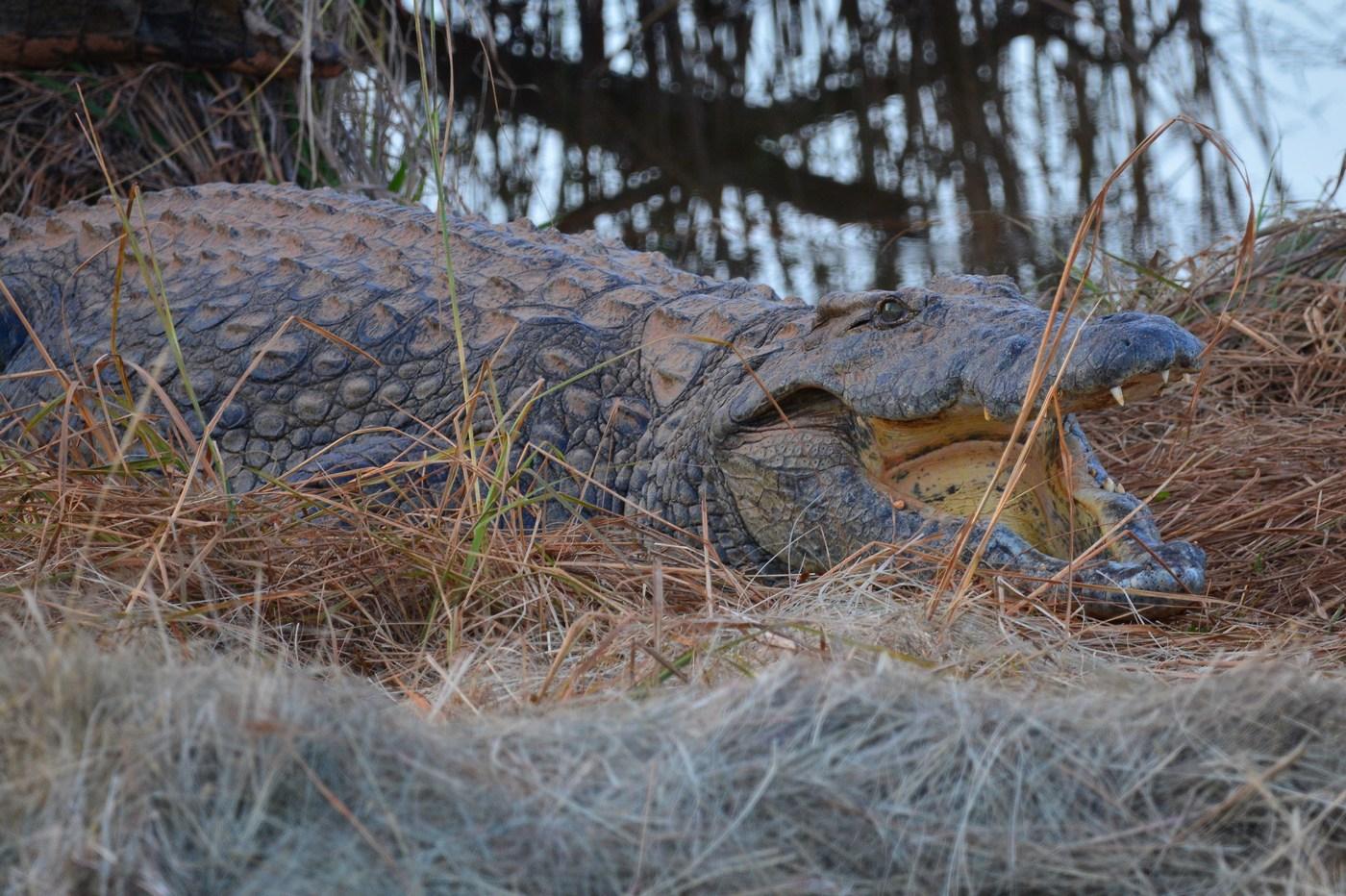 Un beau Crocodile du Nil en position typique de repos, gueule grande ouverte.