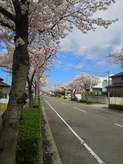 愛知県東海市の名和町の桜