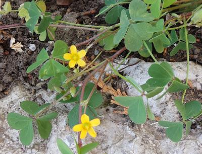 Aleluya amarilla (Oxalis corniculata)