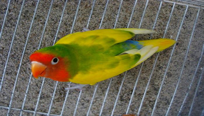 Lovebird Barong