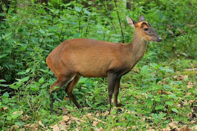A barking deer in the jungles of K.Gudi inside BRT tiger reserve