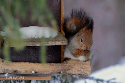 Ardilla roja - Red squirrel - Sciurus vulgaris. En Finlandia está muy extendido la colocación de comederos, aunque no todos sus visitantes son aves, esta ardilla supo sacarle partido a los restos que habían dejado herrerillos y carboneros.