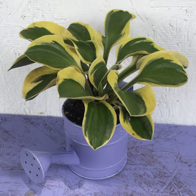 Mighty Mouse hosta in mini purple watering can