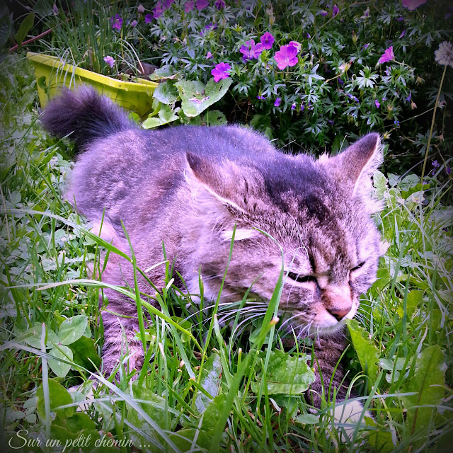Le chat hume l'herbe mouillée (Plume)