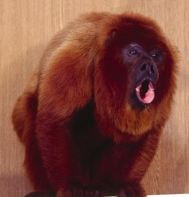 Red howler monkey howling.