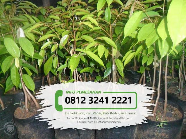 Jual Bibit Buah Durian Montong