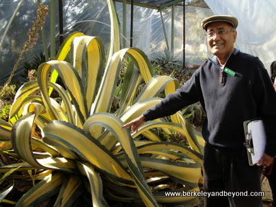 century plant-agave franzosinii-+guide Adrian D'Souza, at Ruth Bancroft Garden in Walnut Creek, CA