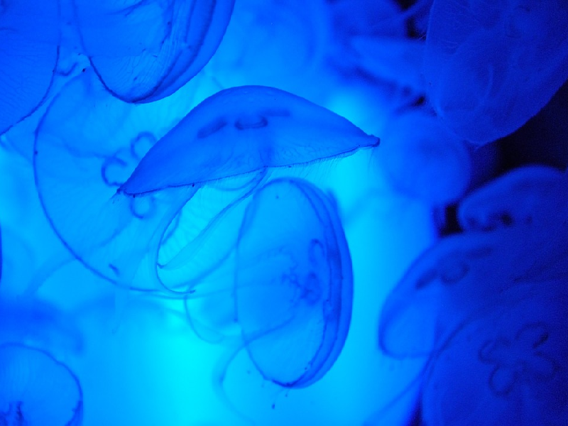 Moon Jellyfish Facts | All Five Oceans