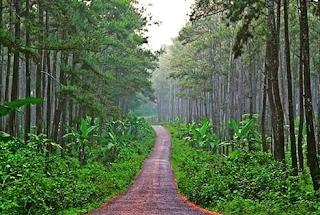 wisata hutan pinus cilacap