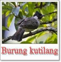 menjinakkan burung kutilang yang gesit