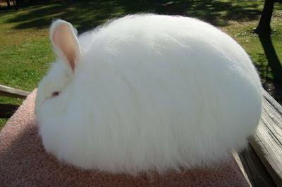 Angora Rabbit fur